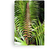 Ceratozamia mexicana Canvas Print