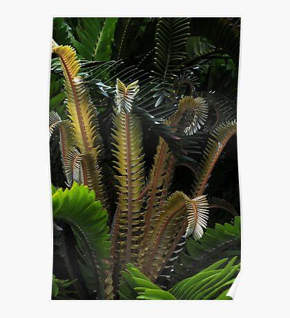 Encephalartos woodii Poster