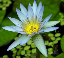Water lily by Philippe Widling