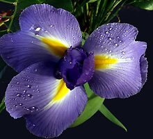 Blue Iris by Philippe Widling