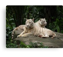 Two White Siberian tiger's laying down  Canvas Print
