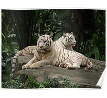 Two White Siberian tiger's laying down  Poster