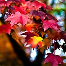 Colors of Maple by LudaNayvelt