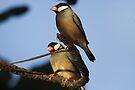 Java Sparrow by Dennis Cheeseman
