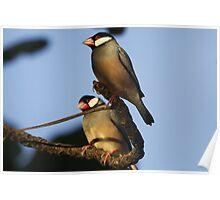 Java Sparrow Poster