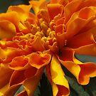 Marigold by Dennis Cheeseman