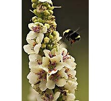 Bee and Verbascum Photographic Print