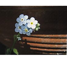 For get me nots at home in an earthenware pot. Photographic Print