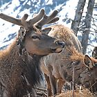 Bull Elk in Velvet  by Dyle Warren