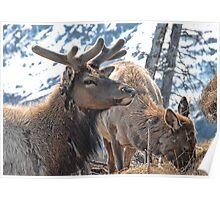 Bull Elk in Velvet  Poster