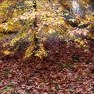 The Young Beech Tree in Fall by LouiseK