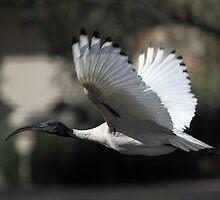 Australian White Ibis Flying, South Australia  by Carole-Anne