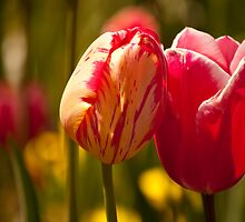 Tulips in Love by fab2can