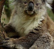 Koala Bear by WendyJC