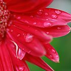 Pink Gerbera with water drops by Anika Schmotter