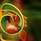 Leaf Beetle - Tortoise beetle by Eve Parry