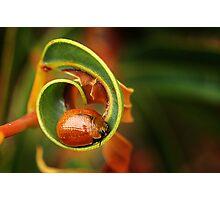 Leaf Beetle - Tortoise beetle Photographic Print