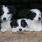Sheepdog puppies by Rory Trappe