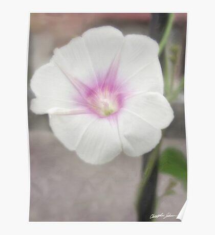 White Morning Glory 1 - Love Eternal Poster