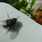 housefly (Musca domestica), on jug in garden by armadillozenith