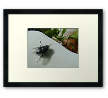 housefly (Musca domestica), on jug in garden Framed Print