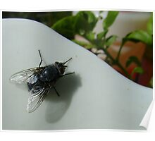 housefly (Musca domestica), on jug in garden Poster