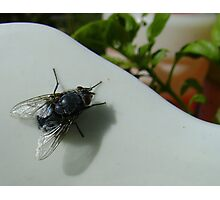 housefly (Musca domestica), on jug in garden Photographic Print
