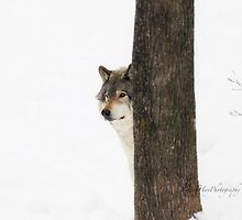 Hide and Seek! - Timber Wolf by Yannik Hay
