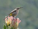 Cape Sugarbird on Protea by Macky