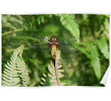 Broad-Bodied Chaser Dragonfly. Libellula depressa Poster
