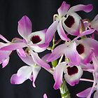 Dendrobium (Den.) Nobile by David Galson