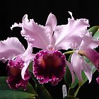 Best Cattleya in show – Lc. Dinard 'Blue Heaven' by David Galson