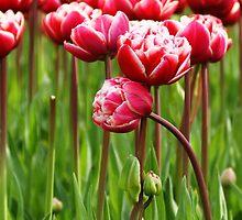 Tulips by Lindie Allen
