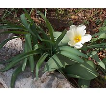 Spring White Daffodil Photographic Print