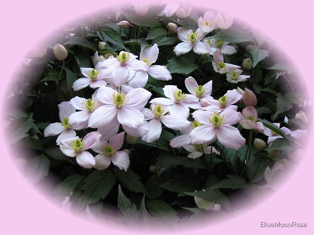 Pretty-in-Pink Clematis Vignette by BlueMoonRose