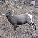 Rocky Mountain Big Horn Sheep by janetmarston