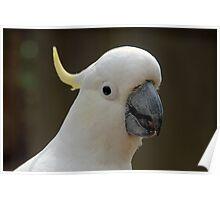 Sulphur Crested Cockatoo VI Poster