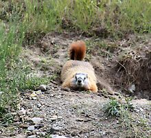 Playful Marmot by Alyce Taylor
