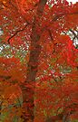 Maple in Red by Tamas Bakos