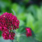 Clover Flowers by Steven Carpinter
