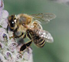 Macro Bee by MissyD