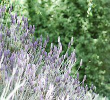 Shades Of Lavender by MissyD