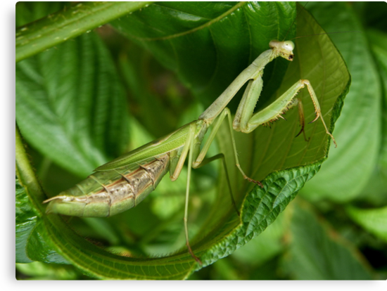 Praying Mantis taken in Washington DC by AnnDixon