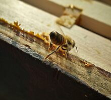 Solitary Bee by Nautipuss