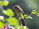 Female Cardinal by Dennis Cheeseman