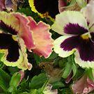 Pretty Pansies..Macro by judygal
