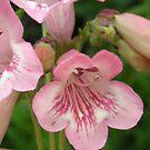 Pretty Pink Bellflowers..Macro by judygal