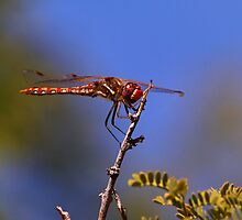Red-Veined Meadowhawk Dragonfly - Red Rock Canyon  by John Absher