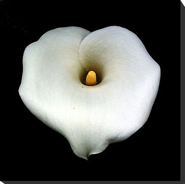 A Single Heart Shaped Calla Lily Isolated On Black by taiche