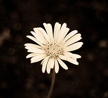 Classic Daisy by Lisa Gover